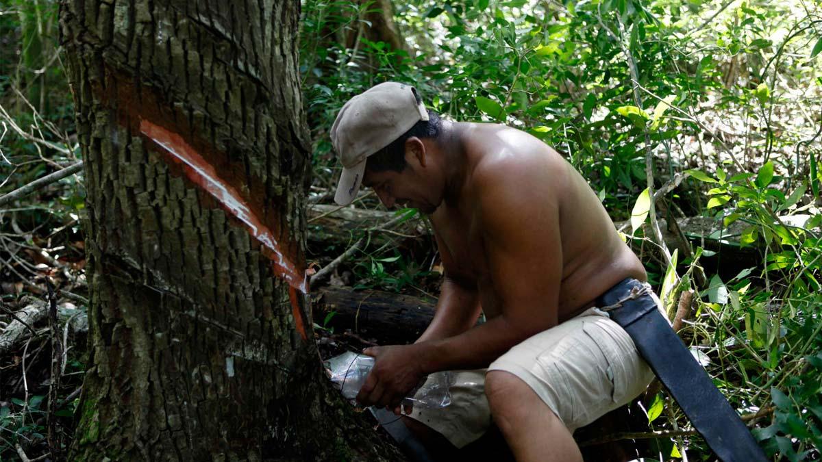 Recolección de la savia lechosa del Chicozapote con la técnica que empleaban los mayas