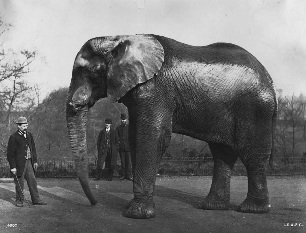 Thomas Lipton contrató un elefante para transportar el queso más grande del mundo (1881)