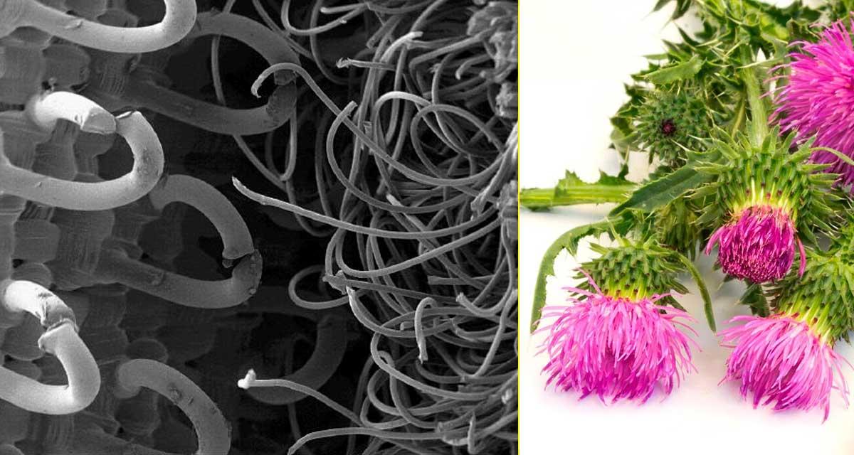 Imagen de microscopio del sistema de Velcro – Bardana, la planta que inspiró el sistema patentado por Velcro